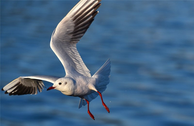 Kunming's 35-year romance with seagulls