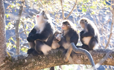 In pics: New baby joins monkey family in Weixi County