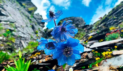 Meconopsis adds beauty to Diqing plateau