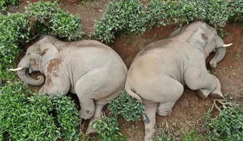 Zhao Ping, an elephant tracker in south Yunnan