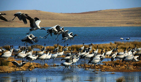 Cranes at Dashanbao fly back to northern prairie for breeding