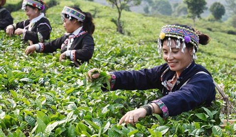 In pics: Tea planting enriches farmers in Ning'er County