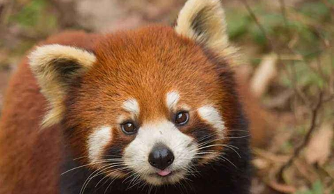 Red panda, adorable species in high mountains
