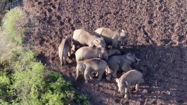China's migrating elephants keep moving southwest
